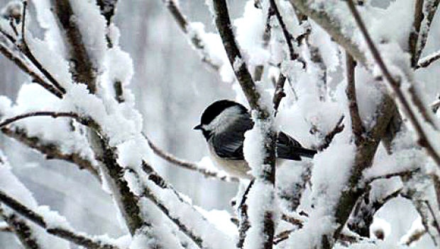 How birds stay warm through Canada's cold winters